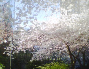 spring2013sakura