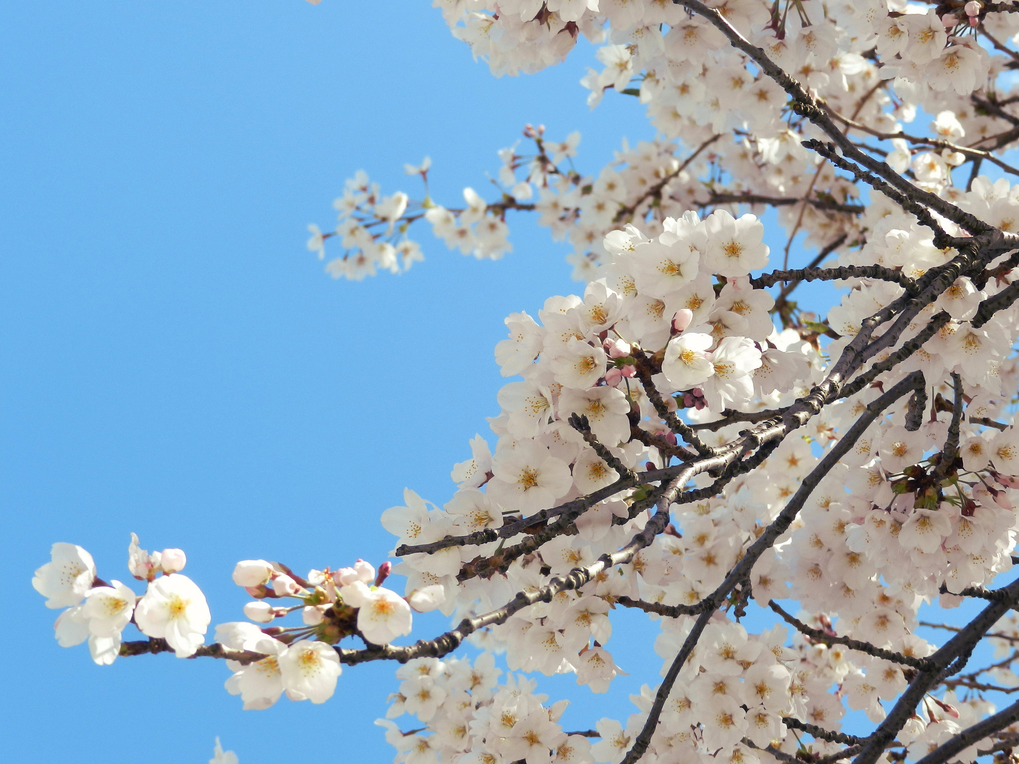 An Insider's Look at Japan: Sakura Matsuri